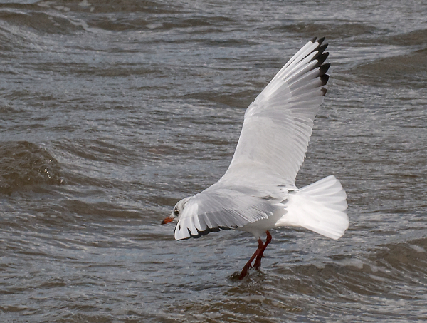 60mm-gull-tip-toe-on-water.jpg