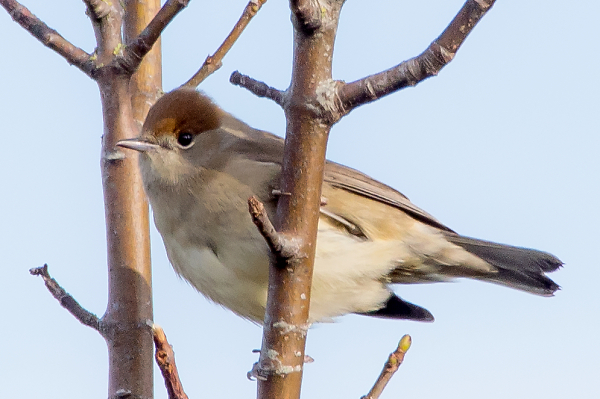 blackcap-female.jpg