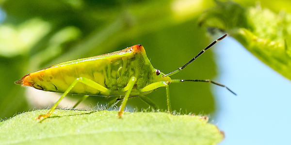 hawthorn-shield-bug.jpg