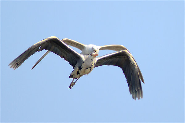 heron-attacked-by-gull.jpg