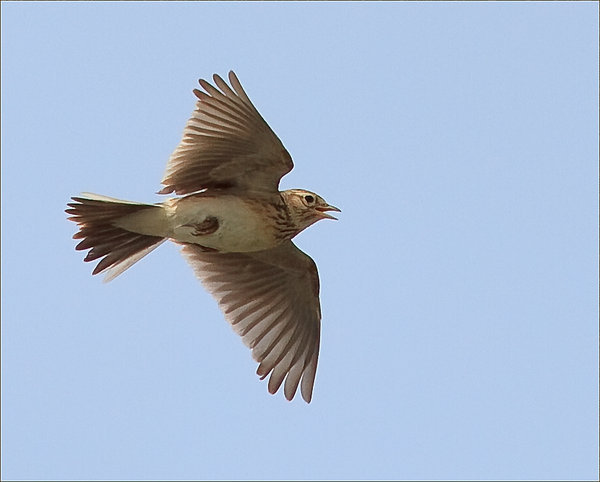 skylark-flight.jpg