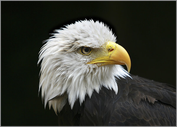 rz3n1664-bald-eagle--copy.jpg