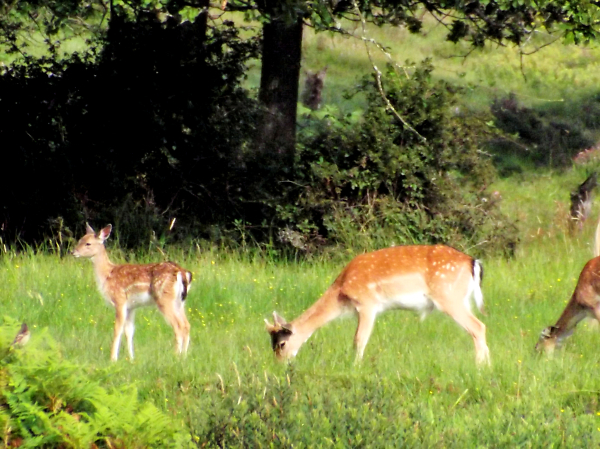 3-fawn-and-mother.jpg