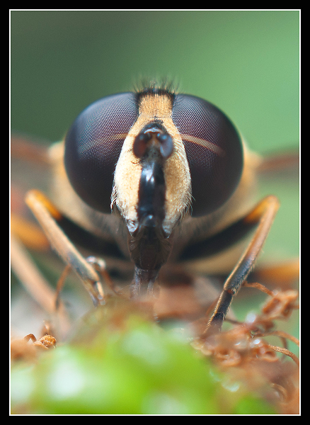 hover-fly.jpg