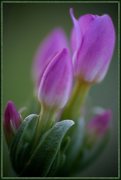 tiny-tulips-resized.jpg