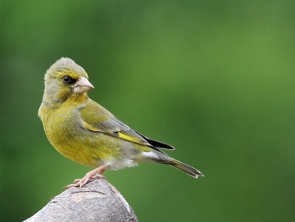 greenfinch-on-apple-tree.jpg