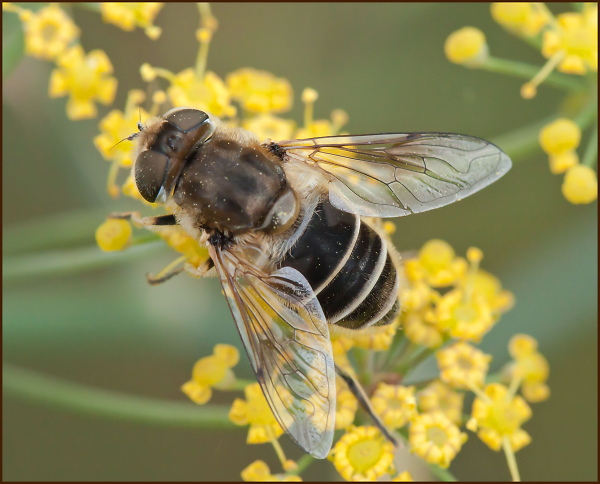 hoverfly-unknown.jpg
