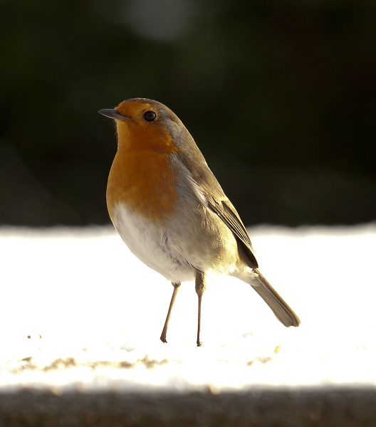 robin-on-shed1.jpg