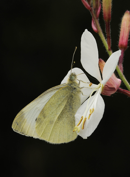 small-white-at-flower3.jpg