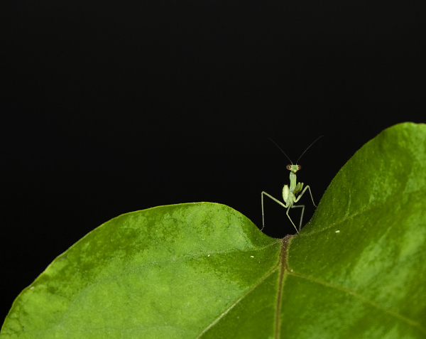 a-1-a-baby-mantis-on-leaf.jpg