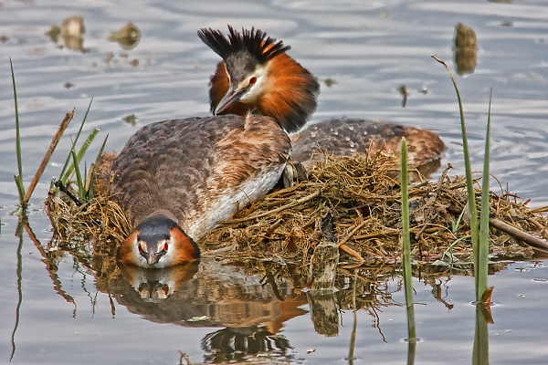 img-1873-gt-crested-grebe-submission-res2.jpg