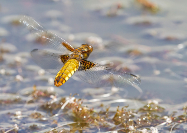 broad-bodied-chaser-5486.jpg