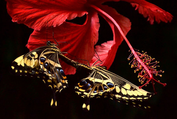tn-swallowtails-on-hibiscus-1.jpg