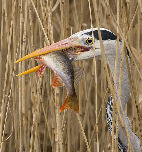 heron-and-fish.jpg