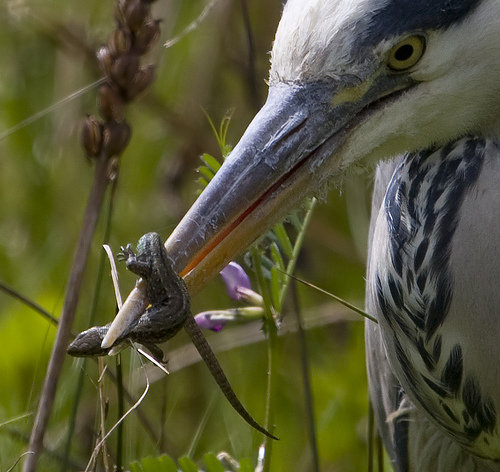 heron-and-lizard.jpg