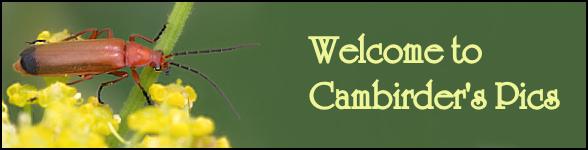 cambirder