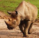 A black rhino