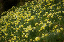 A closer view of the mass of daffoldiles at Dora's field.