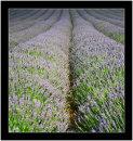 Miles of lavender, blimey!