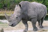rhinoback