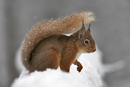 Red Squirrel at Cairngorms National park Scotland