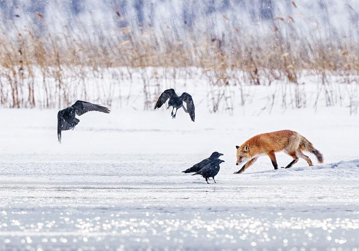 Fox with ravens in Abashiri