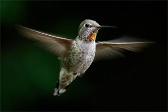 hummingbird NL