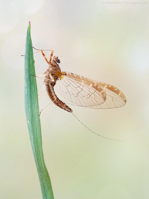 Mayfly NL