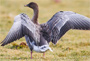 finding the pink footed goose