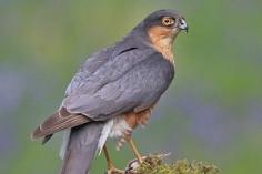 Bluebells & Sparrow Hawk