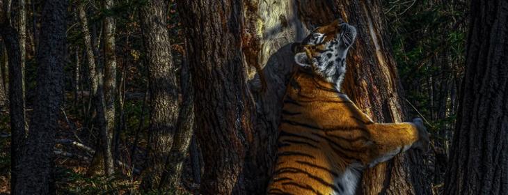 Siberian Tigress Photo Wins 'Wildlife Photographer Of The Year 2020' Title