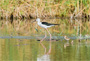black winged stilt newsletter