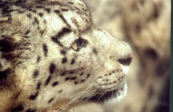 Snow leopard by wildtinsey