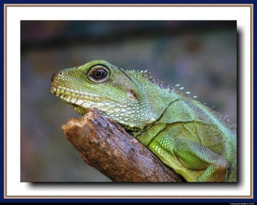 Lounge Lizard? by raymed