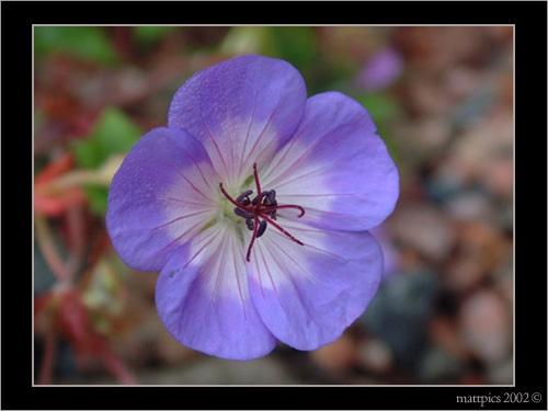 Buxtons Blue Geranium by Tinman