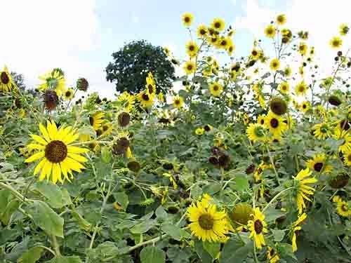 Sunflowers by Richard Amor