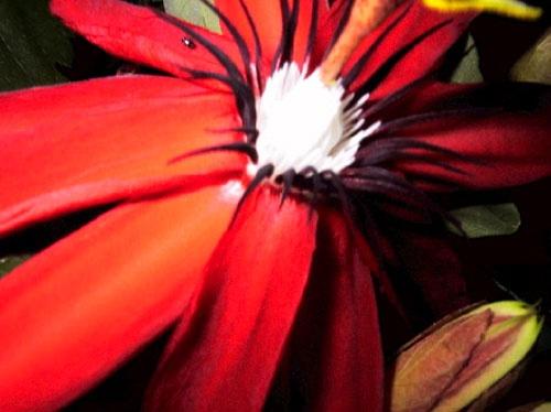 Passion Flower in Situ. by centur