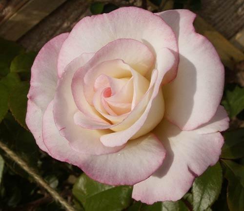 Handel Climing Rose by Rock