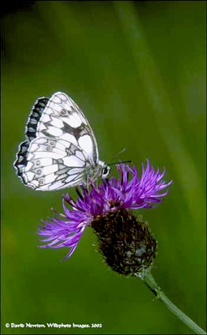 Marbled White butterfly on Knapweed by onewildworld