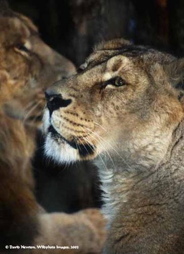 Lioness by onewildworld