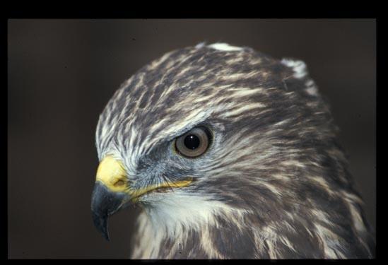 Bird of prey by phiggy