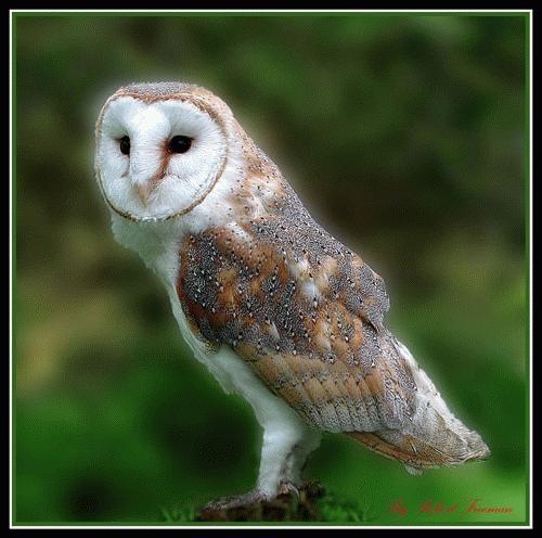 Barn Owl by Rob Freem