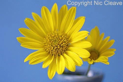 Yellow flower by nicanddi
