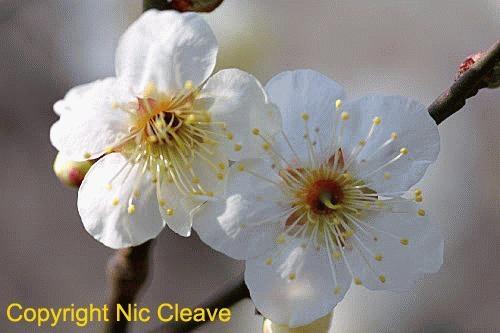 White Plum blossom by nicanddi