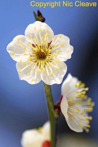 Plum blossom by nicanddi