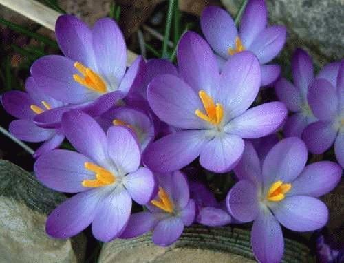 Spring Crocus by alex.allen