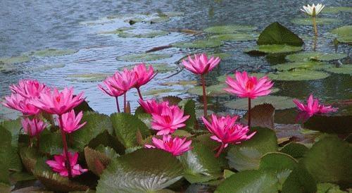 Water Lilies by Linda L. Hudson