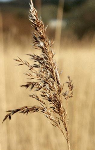 Reeds (Mk2) by Saxon Marsh