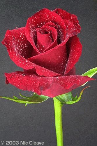 Rose 2 by nicanddi
