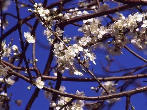 Spring Blossom by neptune
